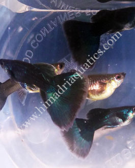 Moscow green guppy pair
