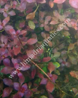 Ludwigia sp Mini Super Red (6 stems)