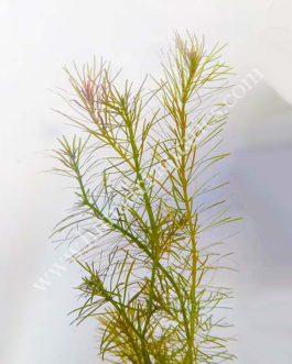 Rotala wallichii/ Whorly Rotala (6 stems)