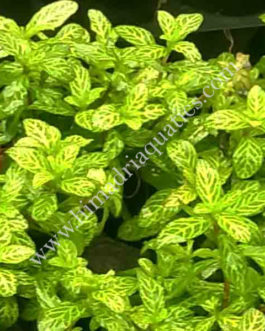 Hygrophila polysperma Rosanervig (3 stems)