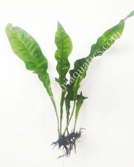 Microsorum pteropus ' Java Fern' (single plant)