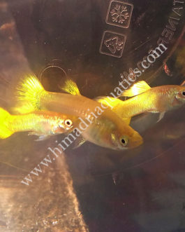 Micariff yellow guppy pair