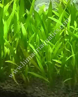 Echinodorus Quadricostatus/ Chain sword( single plant)