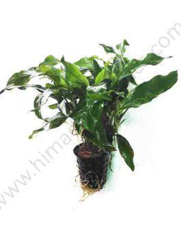 Anubias barteri var. glabra ( large pot)