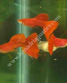 Albino full red high dorsal guppy pair