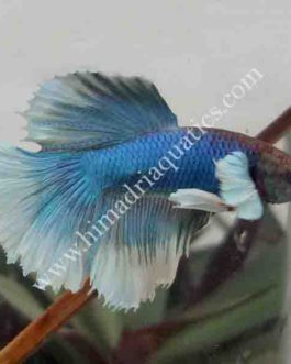 Betta fish/ fighter fish- Male