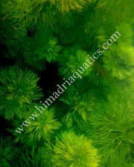 Giant Ambulia/ Limnophila Aquatica (3 stems)