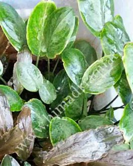 Lagenandra meeboldii -bleeding heart/ red laganandra (single plant)