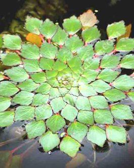 Ludwigia Sedioides/ Mosaic Flower (1 stem)