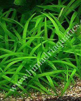 Sagittaria subulata- dwarf sag (3 plants)