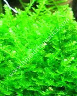 Vesicularia sp 'Mini Christmas moss'