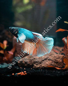 Dumbo ear fighter fish-male