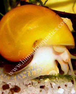 Apple Snail  (Pomacea diffusa)
