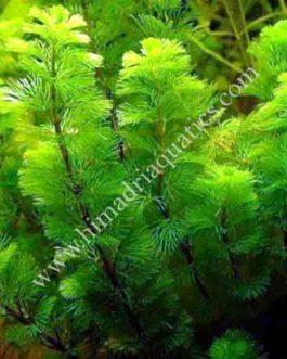 Cabomba caroliniana/ Green Cabomba (3 stems)