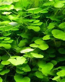 Hydrocotyle leucocephala/ Brazilian pennywort (3 stems)