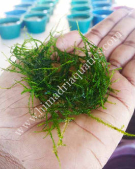 Vesicularia Dubyana -Java Moss