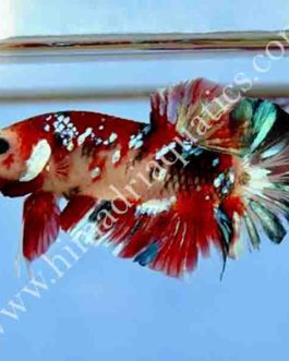 Koi betta fish breeding pair