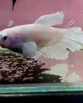 Milky white betta fish breeding pair