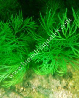 Ceratopteris Sp. China/ Oak fern