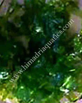 Subwassertang /round pellia moss