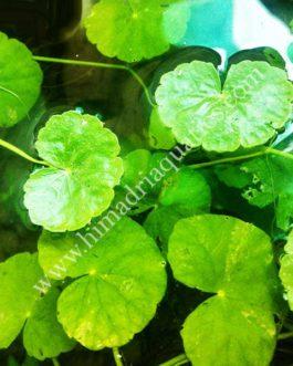 Hydrocotyle leucocephala/ Brazilian pennywort (1 stem)