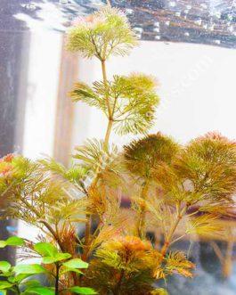 Cabomba furcata / Red Cabomba (3 stems)