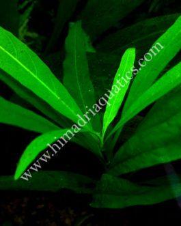 Hygrophila Stricta (3 stems)