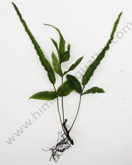 Bolbitis asiatica/ Asian bolbitis/ Ordinary bolbitis fern