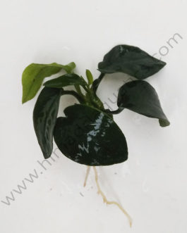 Anubias Nana (single plant)