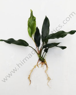 Anubias barteri var. glabra (single plant)