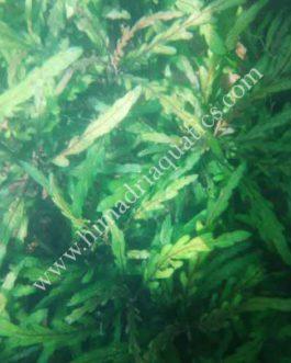 Hygrophila pinnatifida (single stem)