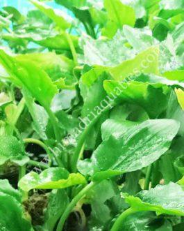 Lagenandra meeboldii -Green (single plant)