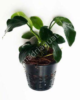 Anubias Nana (Large Pot)