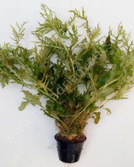 Aqua rose/ Hygrophila difformis (Large Pot)