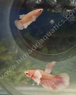 Dumbo ear betta fish breeding pair- fighter fish