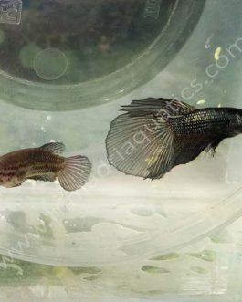 Copper betta fish breeding pair- fighter fish