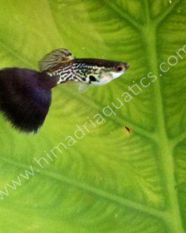 Multi cobra blue-black guppy pair