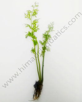Ceratopteris thalictroides / Water Sprite/ Lace Fern