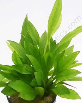 Echinodorus grissibachia/ Pygmy Amazon sword (single plant)