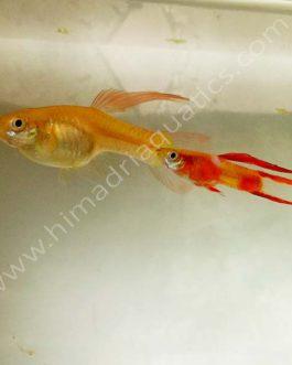 Red coral endler Guppy Pair