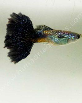 Violet king cobra Guppy Pair