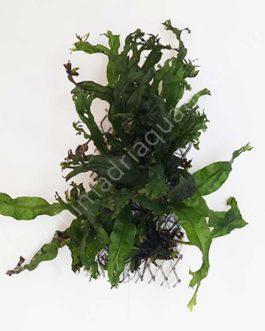 Microsorum pteropus 'Staghorn fern'  / Windelov fern- on ss mesh