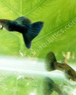 HB blue guppy pair