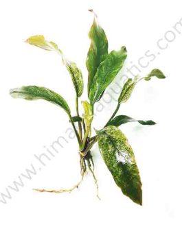 "Anubias barteri var. glabra ""variegated leaf""  (single plant)"