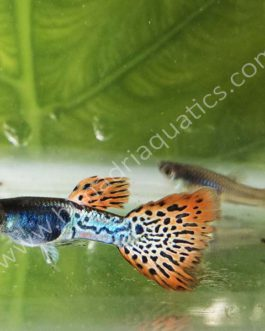 Metal Red Lace guppy pair