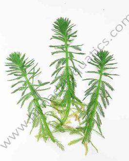 Myriophyllum aquaticum/ parrot feather/ watermilfoil (3 stems)