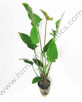Anubias gracilis( large pot)