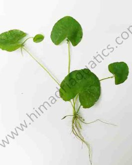 Nymphoides Taiwan (1 plant)