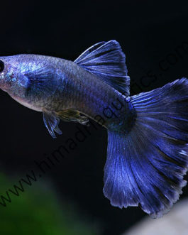 Moscow blue guppy pair