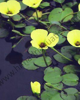 Water poppy/ Hydrocleys nymphoides (single plant)